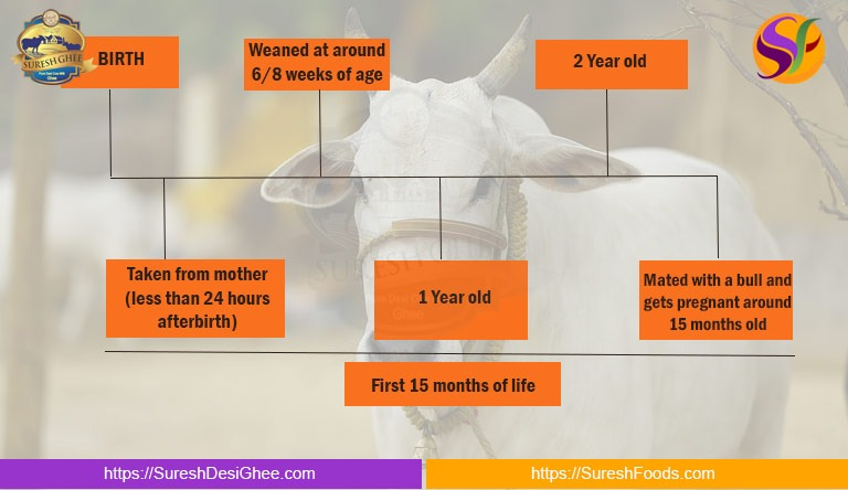 First 15 months of Cow's Life : SureshDesiGhee.com