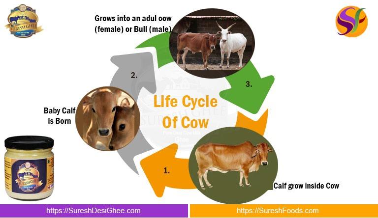 Life Circle of Cow : SureshDesiGhee.com